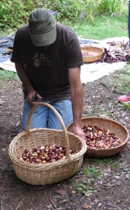 Preparing chestnuts for a Native Foods course that Dr. Joan Gross recently taught.