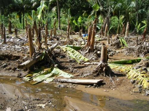 St Lucia Banana plantation