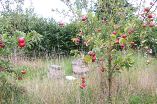 Nicol_apple trees