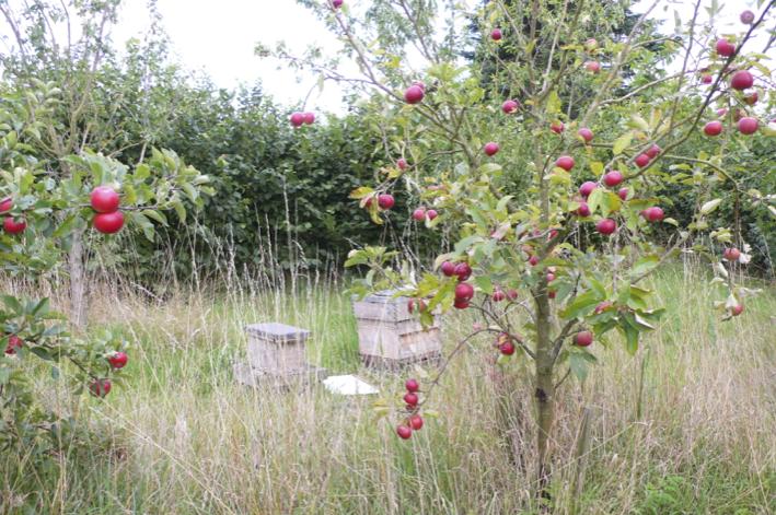 Nicol_apple trees